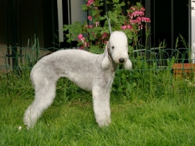 Il Bedlington terrier - Bedlington  < GRANLASCO >