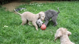 Bedlington Puppies are born 26 July 2016 !!! - Kennel  GRANLASCO